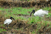 Schwarkopfibis, Black headed Ibis, Threskiornis melanocephalus