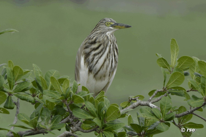 Paddyreiher (Indian Pond Heron)