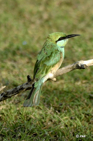 Smaragdspint, Little Bee eater