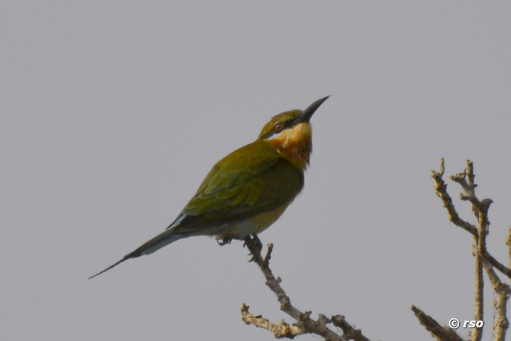 Braunkopfspint, Chestnut headed Bee Eater