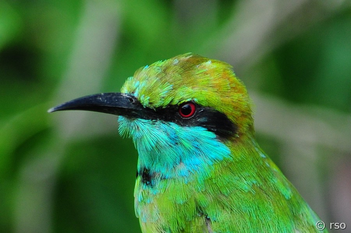 Smaragdspint, Little Green Bee Eater