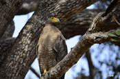 Schlangenweih, Crested Serpent Eagle