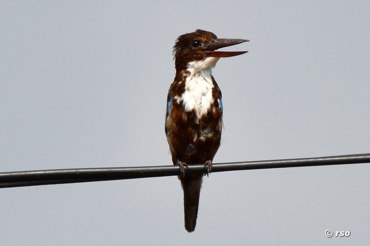 Braunliest, White throated Kingfisher, Halcyon smyrnensi fusca