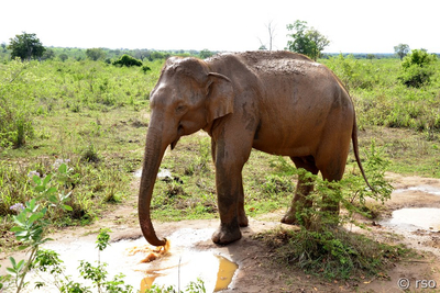 Elefant im Nationalpark Udawalawe